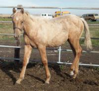<h2></h2><p>NUGGET is a 2010 registered quarter horse filly. We outbid the meat buyer at an auction to save her. Her new owner will be boarding her here for the winter to get to know her and learn how to train her. Feb. 28/11 - Nugget is now in her new home.<br></p>