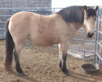 <h2></h2><p>CHERRY is a 2005 Fjord cross mare. She is broke and good with kids. Her new home is with a family near Red Deer who have three young boys. She's going to be their trail riding horse.<br></p>