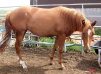 <h2></h2><p>CASH is a 2008 quarter horse/paint cross filly. Her previous owners had to downsize, so she was brought here. She's Tango's daughter. Her owner is the husband of the lady who bought Disco. She also will board here until spring 2012 so her training can continue.<br></p>
