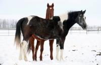 <h2></h2><p>RAIN is a 2010 purebred warmblood mare (black & white paint) who has a crooked front leg. She's now gone to a home to be a companion for another mare who has a permanently injured hock, and they will spend their lives together.<br></p>