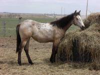 <h2></h2><p>FIESTA is a June 2013 grade QH filly that we got from the meat buyer. She is owned by a young lady and this is her first horse. They bonded the first time they met. She will be boarding at a stable near Calgary.<br></p>