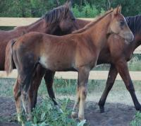 <h2></h2><p>BILLY THE KID is a June 2014 stud colt, he was born here. His mother was Candy.  His mom died when he was 12 days old, and the person who hand raised him now owns him.<br></p>