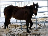 <h2></h2><p>JOSIE is a 2008 registered quarter horse filly who is very quiet and loving. She was bought right out of the meat pen at an auction. Her new owner is the husband of the lady who owns Selene, so she will be staying here to continue her training.Oct/09 - Josie has moved to a private acreage that is closer for her owner.<br></p>