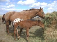 <h2></h2><p>FRECKLES and FIREFLY came to us from The Mitchell Centre. They were there because of a divorce situation. Freckles (the mom) has gone back to that same rescue as she is not suitable for youth. She will have her training finished there and will be matched with a rider that suits her.  <br></p>