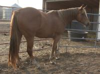 <h2></h2><p>JASMINE is a 2010 QH cross mare. She's now owned by the husband of the lady who owns Sinola. </p>