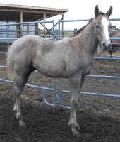 <h2></h2><p>LEVI (now called Bullwinkle) is a May 2013 purebred QH stud colt. He came with his mother Lily. He's now at a good friends ranch, where he'll be well taken care of.<br></p>