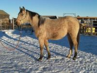 <h2></h2><p>JEWEL is a 2012 registered QH filly. She is owned by the husband of the lady who purchased Spice, and will start some light training in 2014.<br></p>