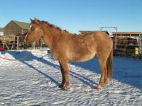 <h2></h2><p>SPICE is a May 2011 grade QH cross filly who was surrendered to us due to the owners health. She is now owned by a lady who lives close to us. She will be starting her training in 2014.<br></p>