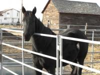 <h2></h2><p>DESTINY is a 2006 purebred quarter horse mare. She is greenbroke and very well mannered. Her training is being finished by one of our volunteers who has fallen in love with her and has purchased her. MAY 2010 - She has now gone to a boarding stable and her owner hopes to train her for cattle penning.<br></p>