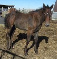 <h2></h2><p>JESSE JAMES is a June 2014 stud colt, he was born here. His mother is Mira. He has now gone to his new home where he rejoined Billy The Kid.<br></p>