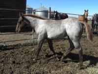 <h2></h2><p>TWILIGHT is a May 2014 filly we got from a meat buyer. She's now at the same place that Foxy and Zee are at, and will be a companion for Zee.<br></p>