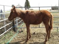 <h2></h2><p>This little arabian colt came from the same auction as Tara. He is severely underweight, basically just bones with skin and hair. He is under vet care and will need a few months to regain his health. He is now owned by a lady from Calgary, but will stay here until he regains his health. He did have a half sister that came here at the same time, but because she was so thin and weak, she lost her life despite all our efforts to save her. UPDATE: May 2009  This little guy has now gone to his new home. He has put on a lot of weight, and has energy to burn. Once he sheds out his winter coat, he'll be beautiful.<br></p>