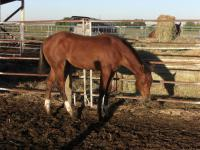 <h2></h2><p>TRIO is a May 2014 purebred QH that we got from a meat buyer. She's now owned by one of our volunteers, and will be boarded here for her owner to learn how to train her.<br></p>