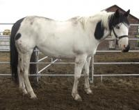 <h2></h2><p>SPIRIT is a 2004 registered paint mare. She has also gone to The Mitchell Centre, as she is very afraid of the saddle because of an abusive trainer. She will be retrained there in a positive and loving manner.<br></p>