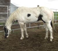 <h2></h2><p>JACOB is a 2005 registered paint gelding. He is a bit unruly as we have all mares here, so he has gone to the Mitchell Centre to be trained and re-homed.<br></p>