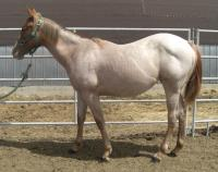 <h2></h2><p>SPLASH (now named ROSIE) is a 2008 registered quarter horse filly we purchased at an auction. She was totally wild when she arrived, but it didn't take long for her to realize we wouldn't hurt her. She has been worked with by many volunteers and has great ground manners. Her new owner is a 12 year old girl, it's her first horse. <br></p>