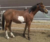 <h2></h2><p>PATCHES is a 2008 grade filly that we rescued out of the meat pen. She was totally wild, but is now calm and fearless. Her new owner will board her here until the end of Feb. 2010 to be able to get to know her, and then she will go to her new home.<br></p>
