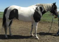 <h2></h2><p>BELLA is a 2004 registered paint horse mare. She has been ridden very lightly, and is very responsive to her lessons. Her owner is a special lady who fell in love with Bella right away. She will continue with her training and will be trail riding with her once she's ready.<br></p>