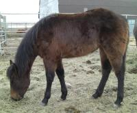 <h2></h2><p>COCO (now called Breeze) is a 2011 purebred QH filly. Her new owner is a lady who's been volunteering here, and was at the auction with us the day we outbid the meat buyer for Coco. They're a great match and are learning to work together. She'll be boarding here for her owner to learn about training her. <br></p>