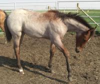 <h2></h2><p>CHLOE is a 2009 registered quarter horse filly who came from the Mitchell Centre. Her new owner will be boarding her here, so she can learn how to train and care for her.<br></p>