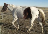 <h2></h2><p>SASSY is a 2007 grade paint filly. She was rescued as a yearling from an auction, but that lady had to move to Ontario, so she came here. Her new owners have two children, and Sassy did well with them. They will continue with her training and in the future the kids will also ride her.<br></p>