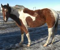 <h2></h2><p>DARLIN (now called KAIYA)  is a 2007 appaloosa/paint cross filly. She is fearless, and absolutely nothing scares her. She loves her new owner, who is one of our volunteers, and works well for her.  She's going great under saddle and learns quickly. MAY 2010 - She is now in her new home.<br></p>