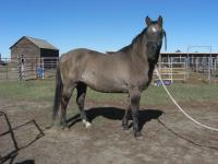<h2></h2><p>PETIE is a 2002 QH cross mare. She's well broke, and is a sweetheart to work with. Her owner is out of the country a lot, so asked if we'd take her here to find her a good home. She's now owned by the same people who have Calista.<br></p>