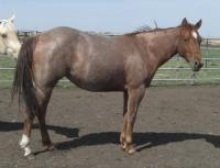<h2></h2><p>CAYENNE (now called Marley) is a 2011 QH filly. We outbid the meat buyer at an auction to save her. She's quiet and well mannered and is now owned by a young lady with 15 years experience who wanted a young horse to train herself. <br></p>
