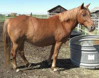 <h2></h2><p>DOLLY is a 12 year old pony who lost an eye because of a tree branch. Her owner had to move, and didn't want to take the chance a meat buyer would get her, so she came here. She is well broke, and a sweetheart to work with. She's got a home with an 8 year old girl who absolutely loves her. <br></p>