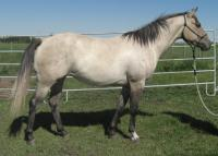 <h2></h2><p>MYSTIC is a 2007 grade quarter horse mare who came from the same auction as Bailey. We outbid the meat buyers to save her. She's been saddled & bridled, just not ridden. Her new owner is the same lady who owns Dancer, so we know she's got a great home.<br></p>