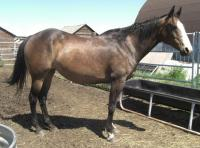 <h2></h2><p>TANGO is a 1998 registered paint mare. She is well broke and friendly. One of our volunteers fell in love with her, and has purchased her. She has been riding her, and they are a great team. She will stay here until Sept 2010, and then will go to her new home.<br></p>