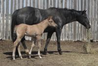 <h2></h2><p>KITTY & DUKEKitty is a 2007 registered QH mare, Duke was born May 1/14. He's a purebred QH but can't be registered as there's no paperwork on the stallion. They have gone to a family who has experience with mares and foals, and are located fairly close to our rescue.<br></p>