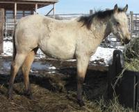 <h2></h2><p>ALLIE is a 2014 QH filly who we got from a meat buyer. She's now got an owner and will be staying here at the rescue.<br></p>