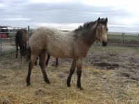 <h2></h2><p>SOPHIE is a June 2013 grade QH filly who came from a meat buyer. She's now in a home in BC with a young couple who fell in love with her. They drove here to meet us and her, and then made arrangements to get her home.<br></p>
