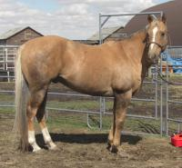 <h2></h2><p>OAKLEY is a 10 yr old registered quarter horse gelding. He's very well broke and a perfect gentleman. His owner couldn't ride anymore and so he came here. He's now been placed with a young lady from Cranbrook BC who absolutely adores him. She plans on the two of them going for many trail rides together. <br></p>