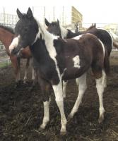 <h2></h2><p>ROXY is a May 2010 grade paint filly who we rescued from the auction. Her mother went to slaughter. She is also now owned by the couple who purchased Terra and Patches.<br></p>