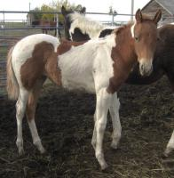 <h2></h2><p>ASPEN (now named MAISIE) is a June 2010 grade paint filly. She was rescued at the auction and her mother went to slaughter. She is now owned by the couple who purchased Terra and Patches.<br></p>