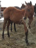 <h2></h2><p>PENNY is a 2013 QH filly who we saved from the meat buyer. She is owned by a young lady who fell in love with her from her picture, and once she met her, knew this was the horse for her. She will be boarded at a stable with the lady's gelding, who looks almost exactly like Penny.<br></p>