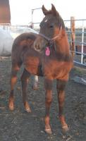 <h2></h2><p>DIAMOND is a 2010 purebred quarter horse filly who we rescued from the auction. She is a grand-daughter of Smart Little Lena. Her new home is in Williams Lake, BC with a wonderful lady who will be training her for future showing. <br></p>
