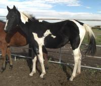 <h2></h2><p>SUNDANCE is a 2009 registered paint filly. We outbid the meat buyer to save her. She's quiet and well halter broke. Her new owner is a 12 year old girl who absolutely adores her. <br></p>