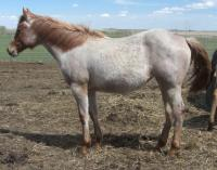 <h2></h2><p>POPPY is a June 2013 grade QH filly who we got from the meat buyer. She's owned by a mother and her young son, and will be pastured with her older mare at a acreage near Calgary.<br></p>