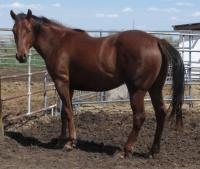 <h2></h2><p>ABBEY is a 2011 QH filly, purebred but no papers. We outbid the meat buyer at an auction to save her. She's extremely smart and hard to work with, and needed someone with lots of experience to help her become all she can be. Her owner is a couple who have trained many hard to handle horses, all with gentleness and compassion. Abbey loved them the first time they came to see her. <br></p>