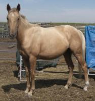 <h2></h2><p>GINGER is a 2009 paint/QH cross filly whose owners had to let her go due to financial problems. Her new owner is a young lady who has been working with Ginger for a few months. She will be staying here for a while for her owner to learn about training her.<br></p>
