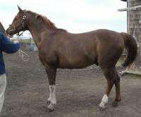 <h2></h2><p>SHILOH is a 19 year old registered Arabian gelding. He's a full brother to Tiara. He's also gone to the same home as Tiara, and will be used for pleasure riding.<br></p>
