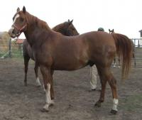 <h2></h2><p>TIARA is an 18 year old purebred Arabian gelding, but has no papers. His owners retired, and wanted him safe, so he came here. He's now gone to an owner who will refresh his training and use him for pleasure riding.<br></p>