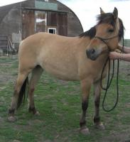 <h2></h2><p>KATIE is a 2010 Fjord/Tennessee Walker cross mare. She is greenbroke, but hasn't been ridden in quite a while. She is going with a wonderful young couple, who have also purchased Lily. They will go to their new home in Edmonton the end of June 2014.<br></p>