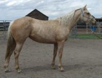 <h2></h2><p>NOEL is a 2012 grade QH filly, we outbid the meat buyer at an auction. She was one of the horses at the Rescue Horse Makeover at the Jonathan Field & Friends event in Sept/14. She has been purchased by an amazing lady who is being mentored by Jonathan Field, and will be traveling all over North America and will have the best of everything.<br></p>