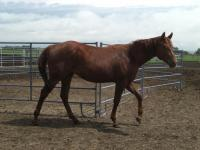 <h2></h2><p>ZAHARA is a July 2011 purebred QH filly, but has no papers. She came from a meat buyer, and is a half sister to Calista and Sapphire. She is now owned by a wonderful young girl and they have bonded well together. She will be boarding here for her owner to learn how to train her.<br></p>