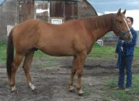 <h2></h2><p>POCO is a 2009 registered QH gelding. He was to be shipped to the auction as he panicked and bucked off his owner. But a friend of the owner contacted us and asked if we could take him here instead. He is now owned by a lady who is taking the time to work on all his ground manners and de-spooking, and is in no hurry to just ride him. She wants him to be the best he can be.<br></p>