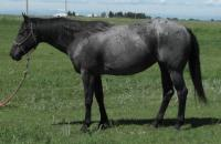 <h2></h2><p>JOLENE is a 2008 reg. QH mare who we bought out of the meat pen at an auction. She was very pregnant at the time (Jackson is her foal). She's now broke to ride and is owned by a young lady who has done most of her training. She'll be boarded here until her training is finished.<br></p>